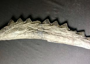 Shark Jaw Edestus heinrichi  Coulterville, Illinois