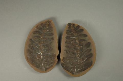 Seed Fern Neuropteris vermicularis  Greer School Diamond, Illinois