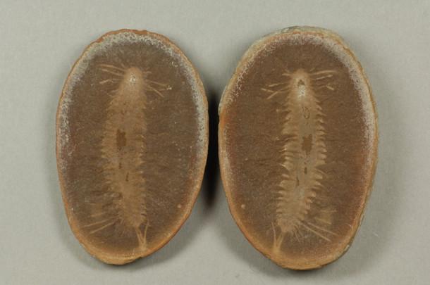 Bristle Worm Fossundecima konecniorum  Pit 11 Braidwood, Illinois