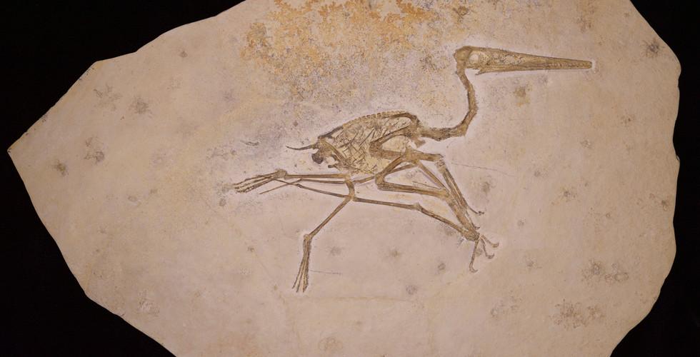 Pterosaur   Pterodactylus kochi   Eichstätt, Germany