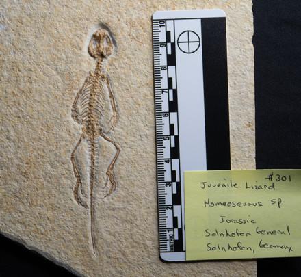 Juvenile Lizard  Homerosaurus sp.  Solnhofen, Germany