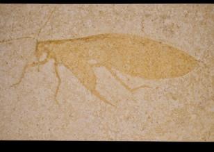 Locust   Pycnophlebia robusta   Eichstätt, Germany