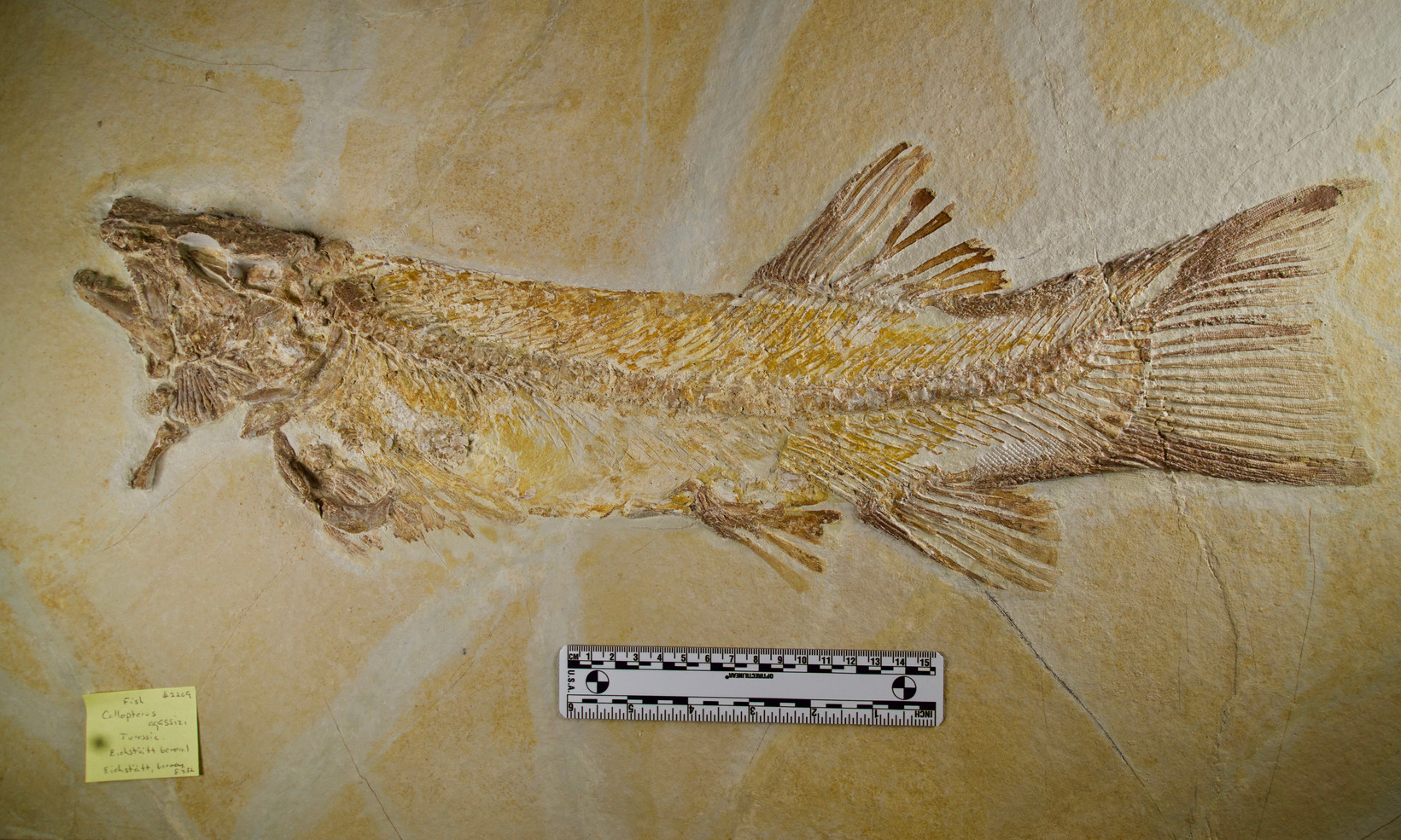 Fish   Callopterus agassizi  Eichstätt, Germany