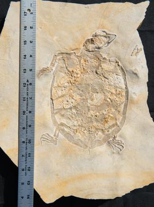 Turtle  undescribed  Painten Quarry near Kelheim, Germany