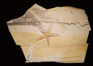 Star Fish   Riedaster reicheli  Kelheim, Germany