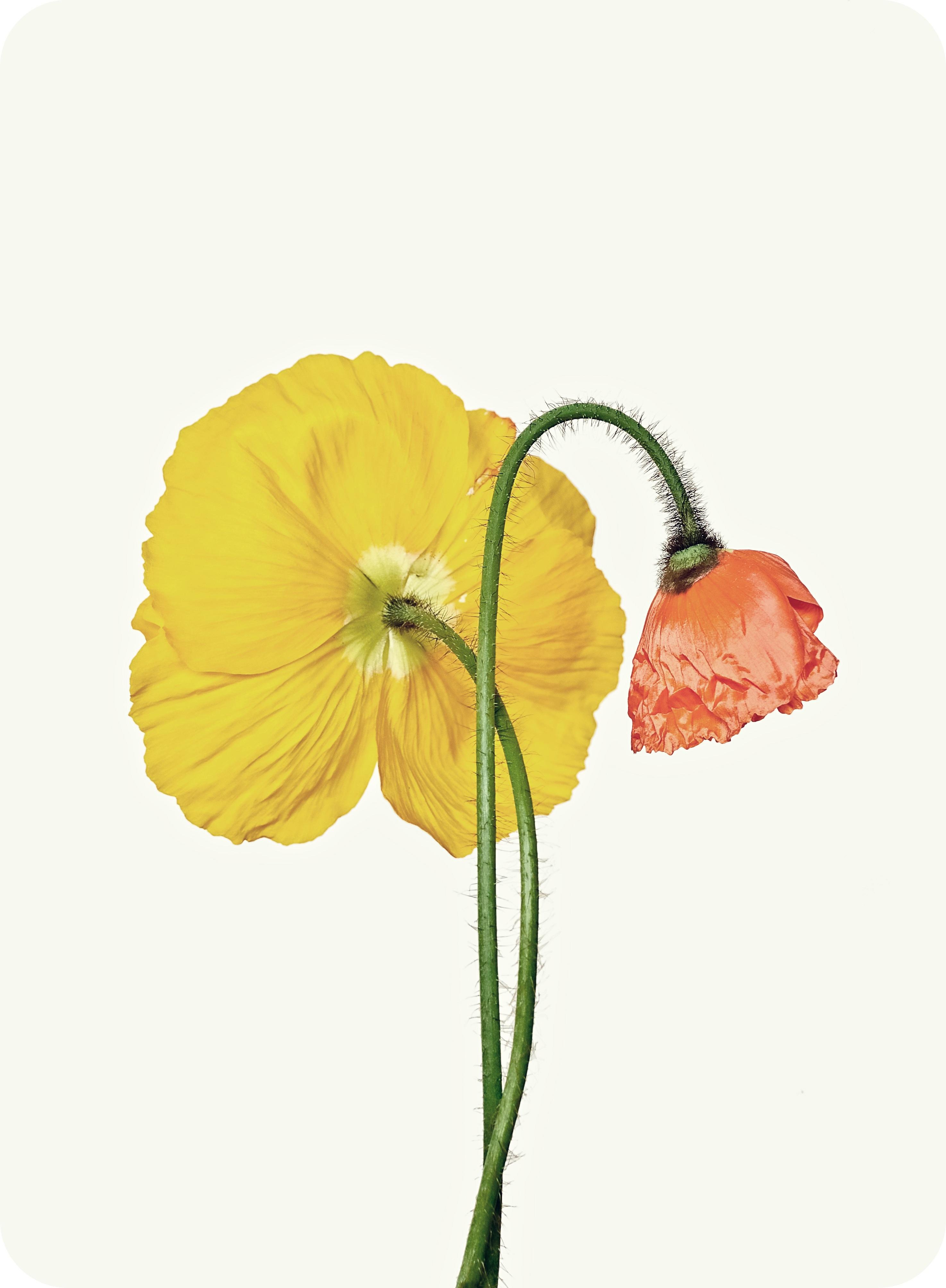 Poppy Pop