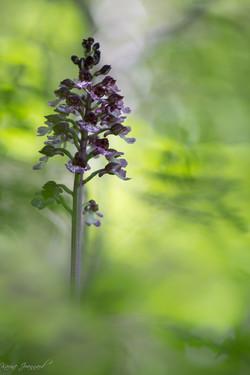 Green purpurea