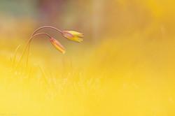 Tulipes sauvages dans l'or des genêts