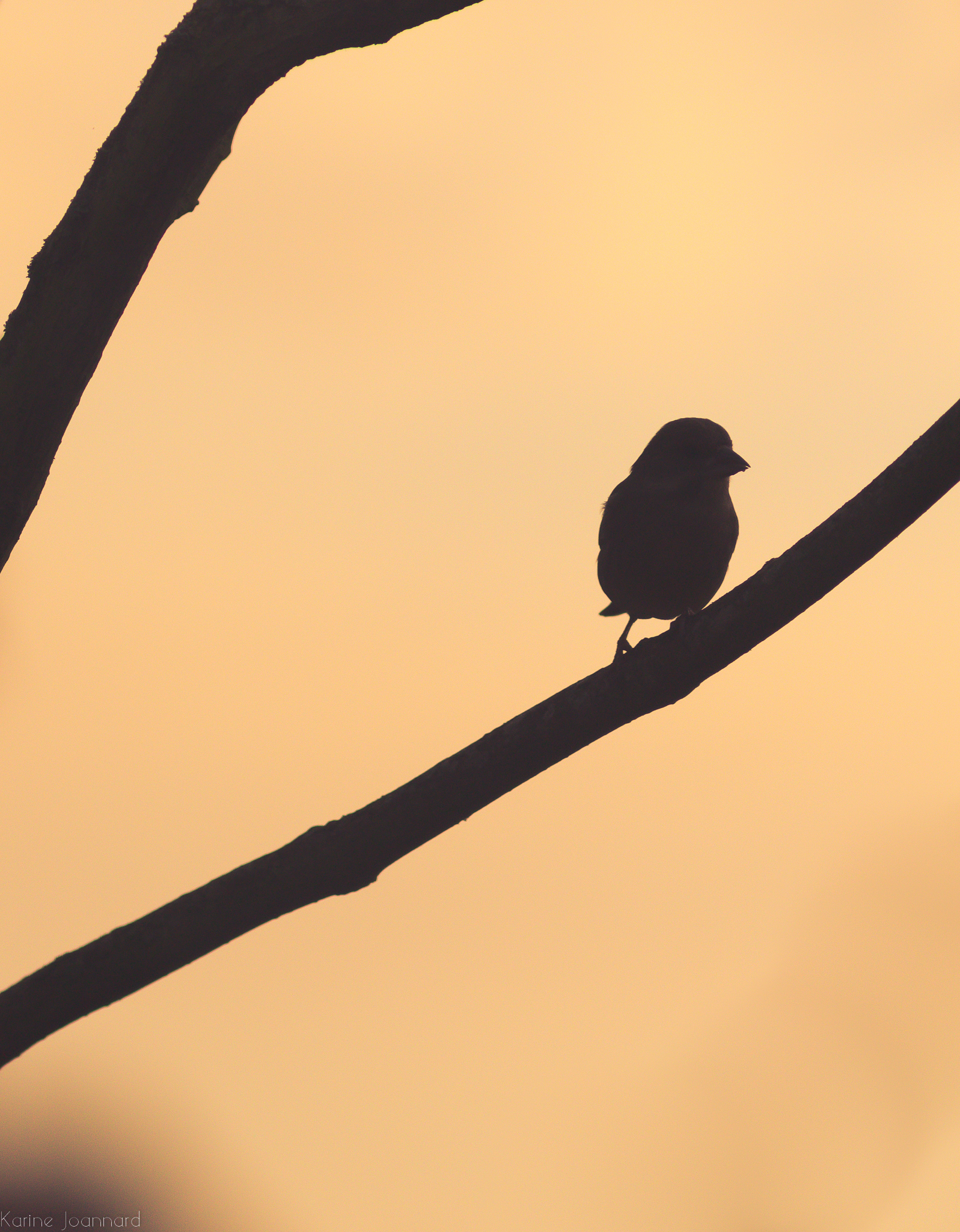Namibia greenfinch