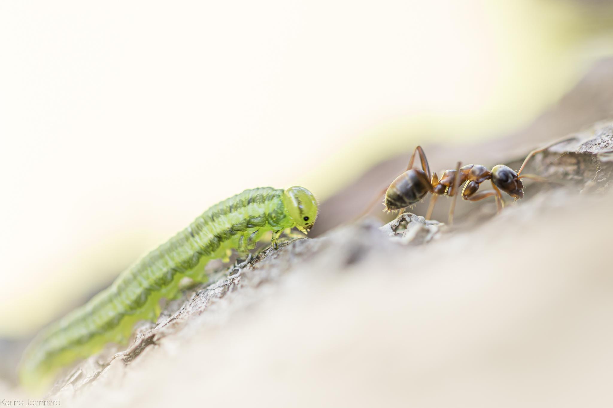 La fourmi guidant la phalène