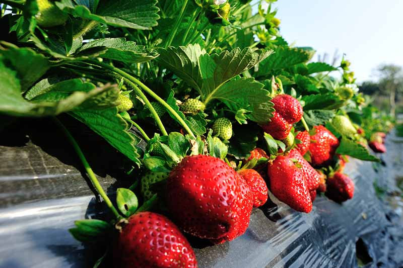 Rows-of-Strawberry-Plants-Growing.jpg