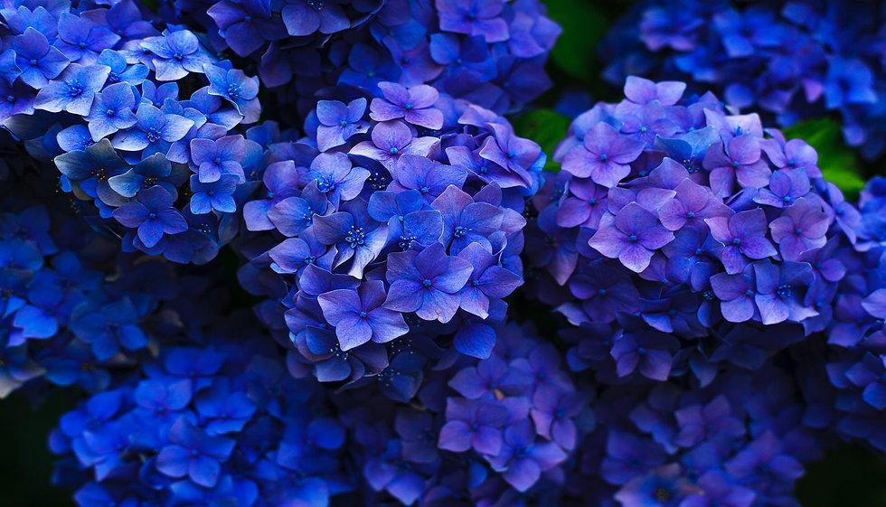 Flowers+-+Hydrangea+-+purple+blue+-+1500