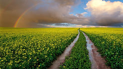 rainbow_over_canola_field_hd_rainbow-192