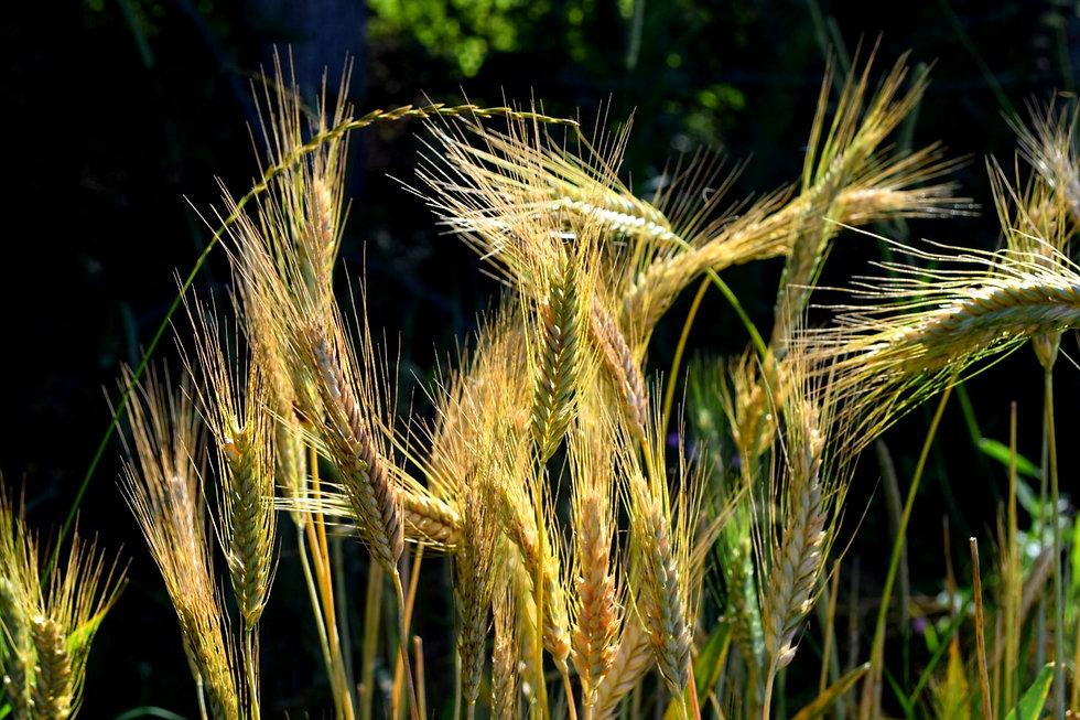 Golden wheat bronzed by the sun, Bad Sankt Leonhard, Austria photo credit Amelia Marriette