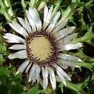 Silver thistle close up.JPG