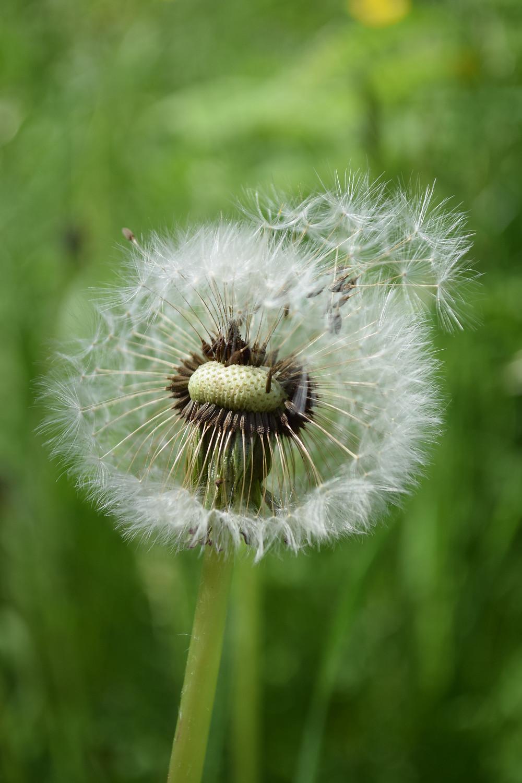 Dandelion seed head blowing in the wind. Image Amelia Marriette