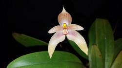 Bulbophyllum Goody Goody (dearei x guttulatum) 2016 - August 7 (1)