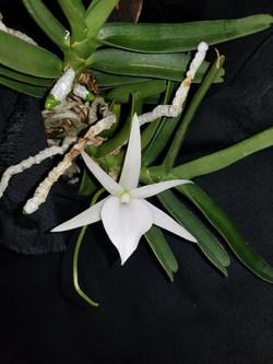 Angraecum rutenbergianum [as didieri] 2017 - August 23 (1)