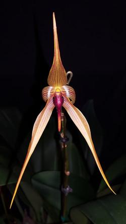 Bulbophyllum Doggy Doo (orthoglossum x echinolabium) 2016 - August 7 (3)