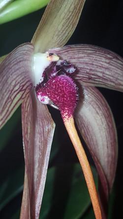 Bulbophyllum echinolabium 'Harbinger' 2017 - June 19 (6)