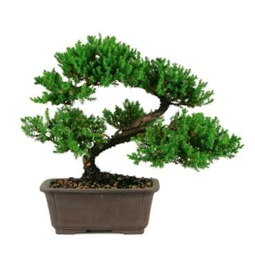 fir bonsai