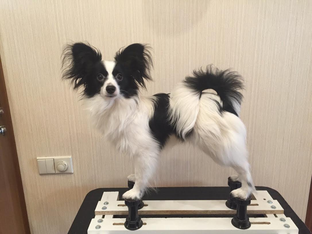 Папийон фото щенки
