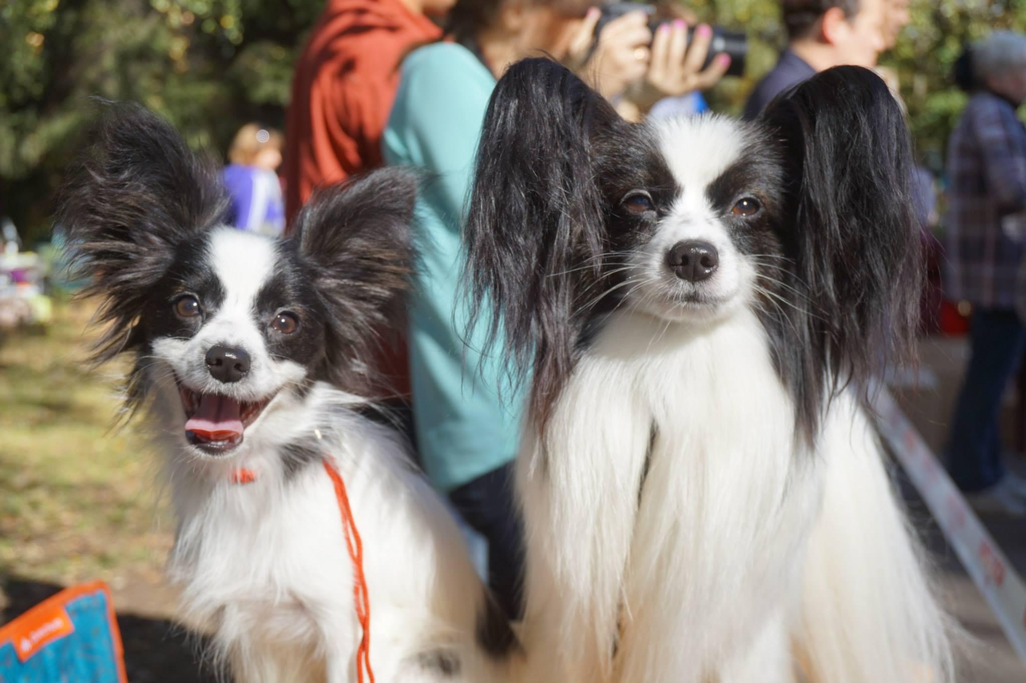 Папильоны собаки фото
