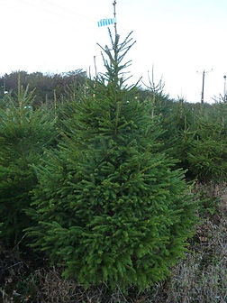 Hull Christmas Trees - Norway Spruce