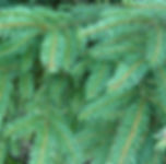 Hull Christmas Trees - Norway Spruce Needles