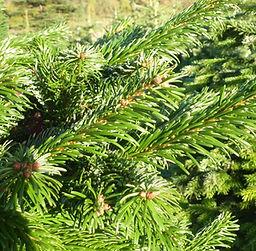 Hull Christmas Trees - Nordman Needles