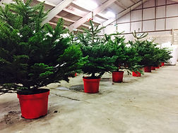 Hull Christmas Trees - Norway Spruce Needles