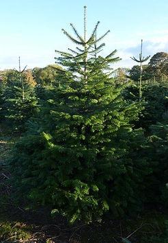 Hull Christmas Trees - Nordman Fir