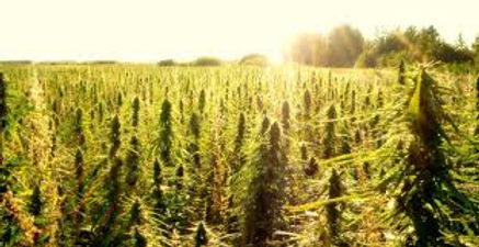 hemp farm morning.jpg