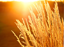 Wheat04.jpg