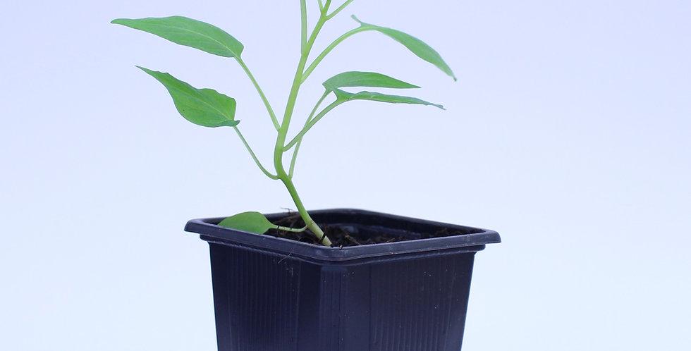 Lemon Drop - Chilipflanze