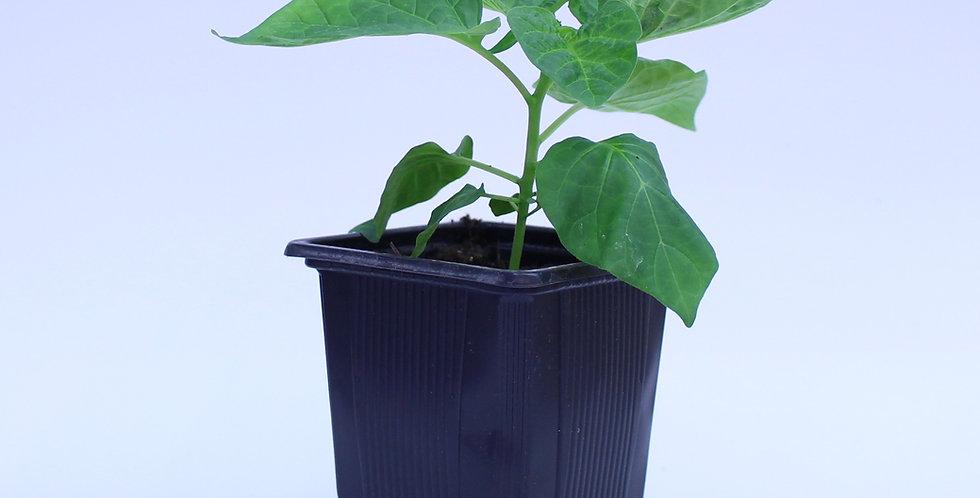 NuMex Suave - Chilipflanze