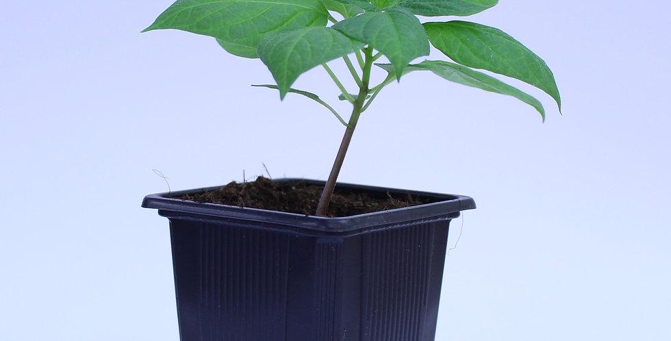 Rocoto Canario - Chilipflanze