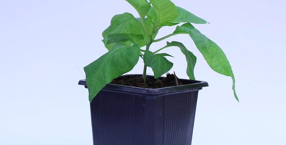 Carolina Reaper - Chilipflanze