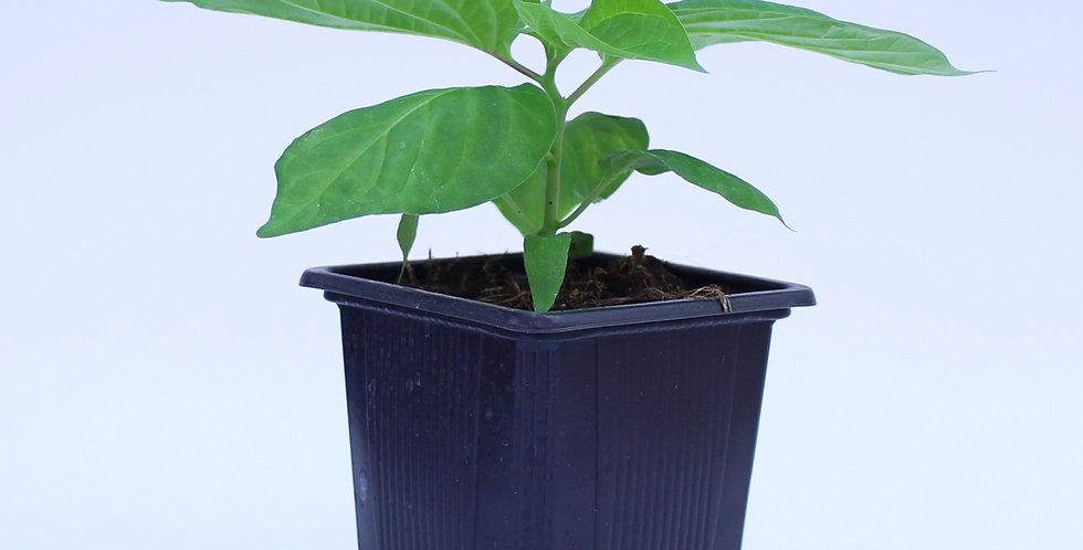 Habanero Chocolate - Chilipflanze