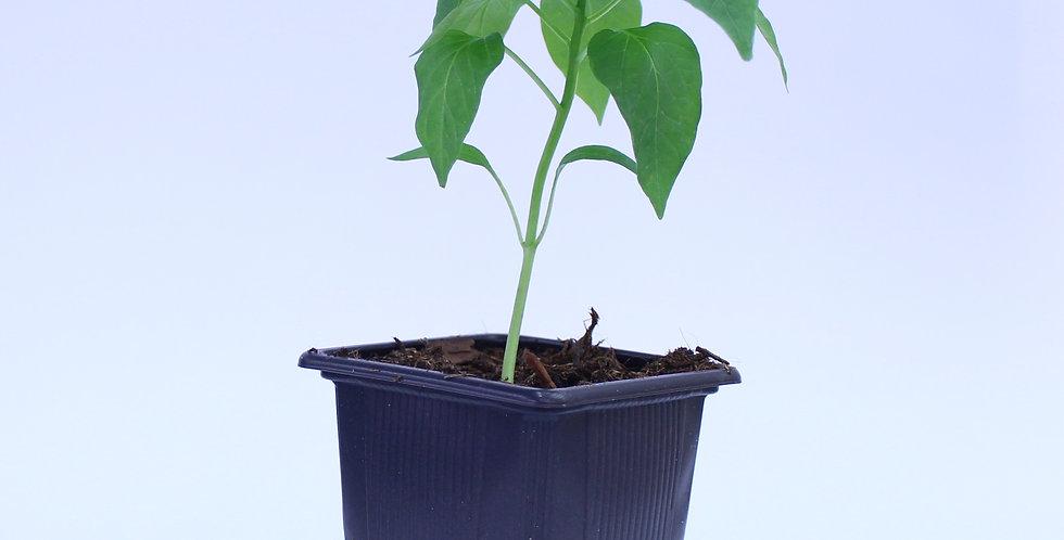 Guajillo - Chilipflanze