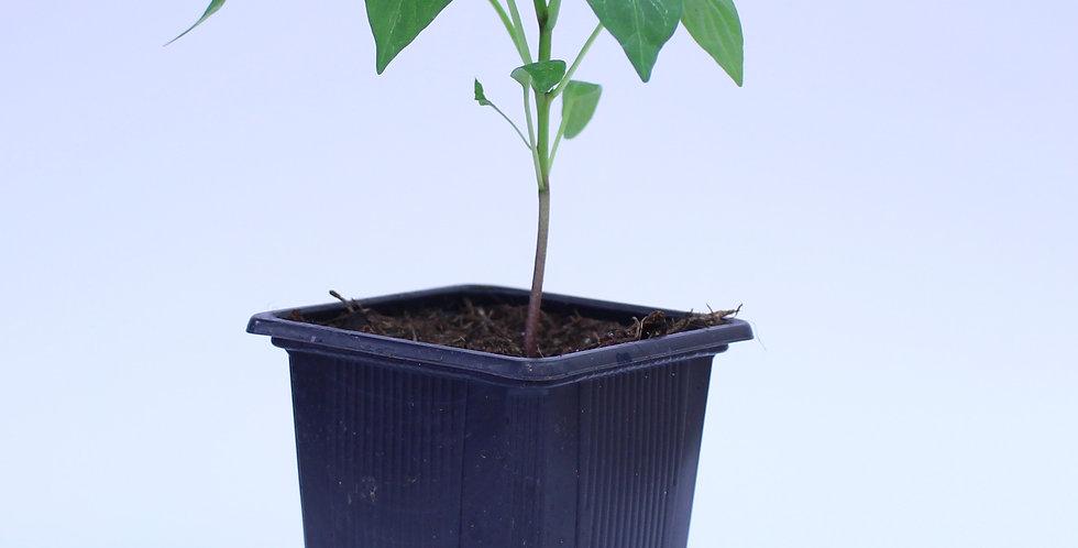 NuMex Jalapeno Pumpkin Spice - Chilipflanze