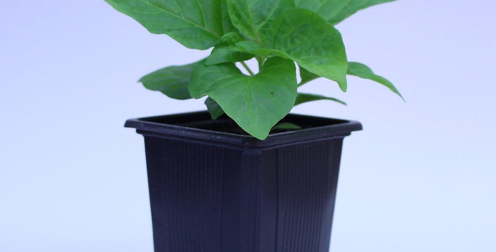 7Pot Jonah - Chilipflanze