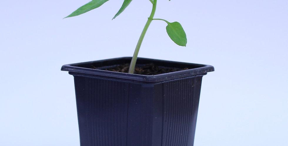 Rocoto Oculto - Chilipflanze