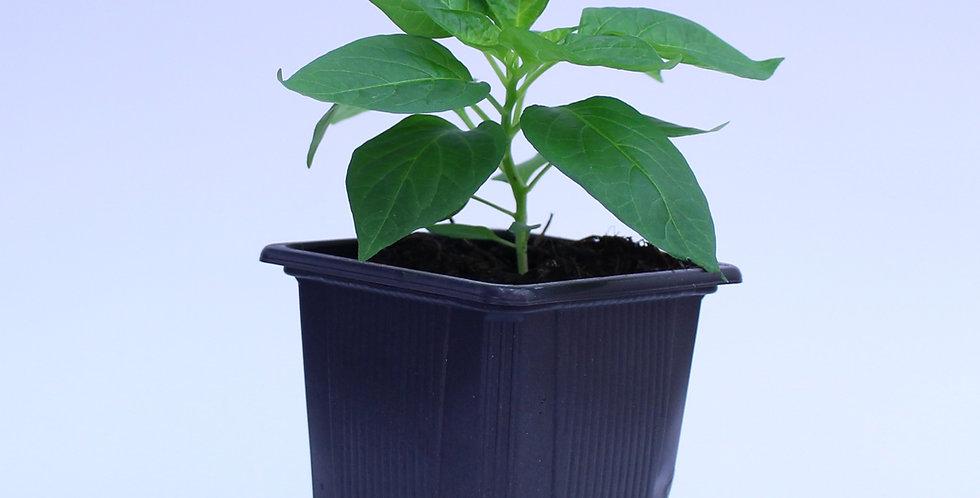 Habanero Peruvian White - Chilipflanze