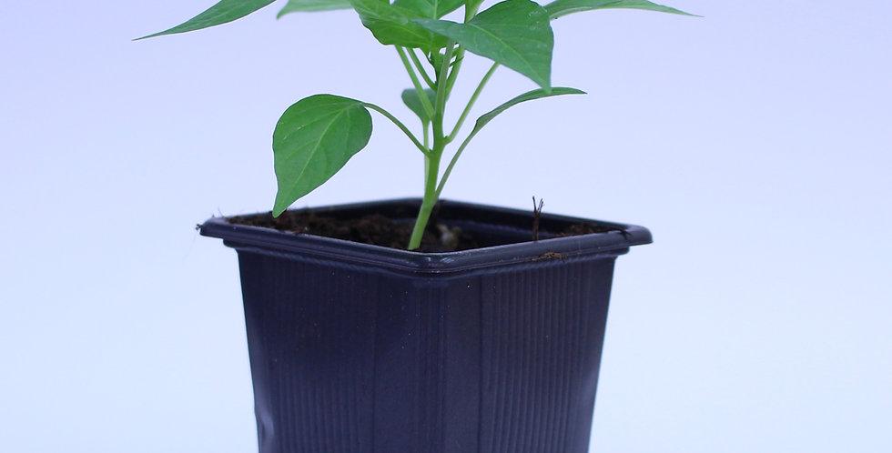 Kirschchili Cherry Bomb - Chilipflanze