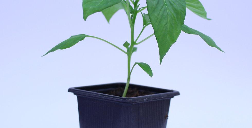 Pimiento de Padron - Chilipflanze