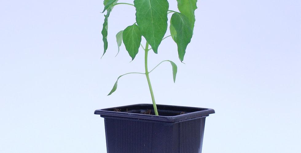 Thai Thunder Mountain Long Horn - Chilipflanze