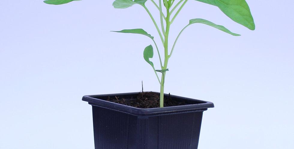 Santa Fe - Chilipflanze