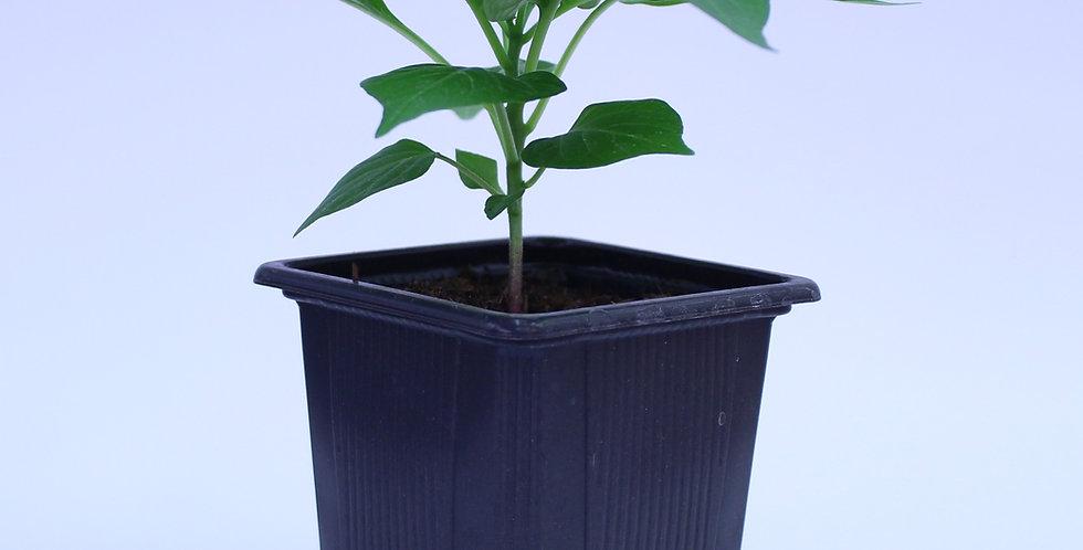 Biquinho Gänseschnabel - Chilipflanze