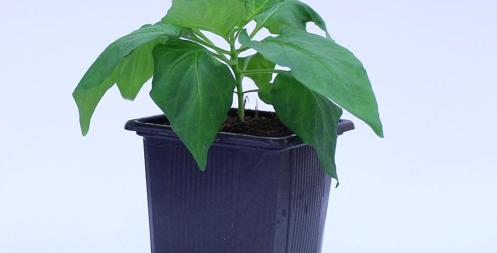 Bhut Jolokia - Chilipflanze